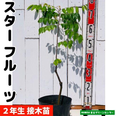 スターフルーツ苗 接木苗 2年生 18~24cmポット 熱帯果樹苗
