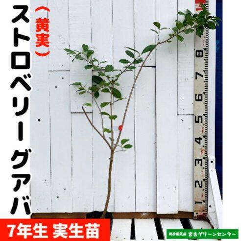 ストロベリーグアバ苗【黄実】実生苗 7年生 12cmポット 熱帯果樹苗