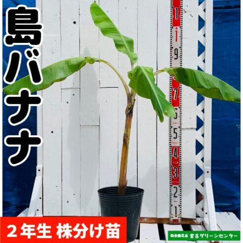 島バナナ苗 株分け苗 2年生 21cmポット 熱帯果樹苗