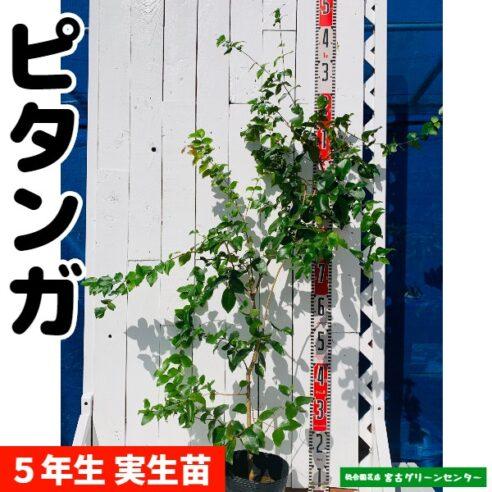 ピタンガ苗 実生苗 5年生 18~21cmポット 熱帯果樹苗