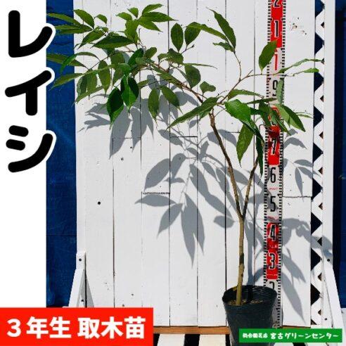 レイシ(ライチ)苗【黒葉】取木苗 3年生 18~21cmポット 熱帯果樹苗