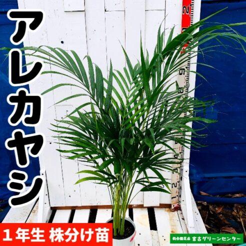 アレカヤシ苗 観葉植物